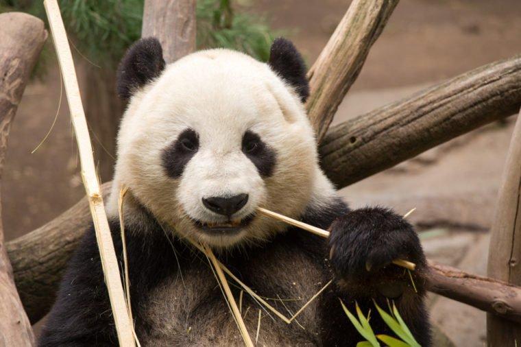 630+ Gambar Hewan Panda Dan Asalnya Gratis