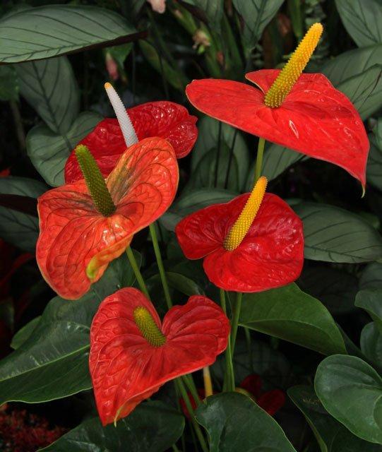 10 Jenis Tanaman Hias Daun Merah Tercantik Yang Bisa Memperindah Rumah Kurio
